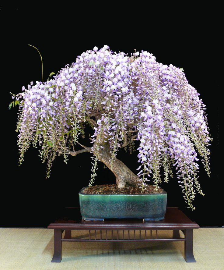 Photo take yesterday, this #Wisteria #bonsai just exploded with flowers! Tree by Heike van Gunst.