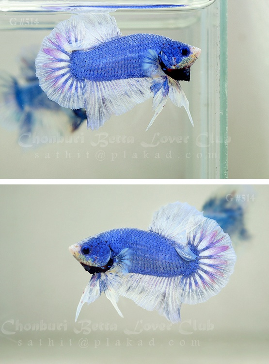 37 best bettas so much want images on pinterest fish for How much are betta fish