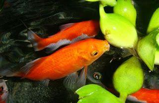 artikel cara budidaya ikan hias, budidaya ikan hias air tawar, budidaya ikan komet di aquarium, cara budidaya ikan hias neon tetra, cara budidaya ikan hias platy, cara budidaya ikan komet di akuarium,