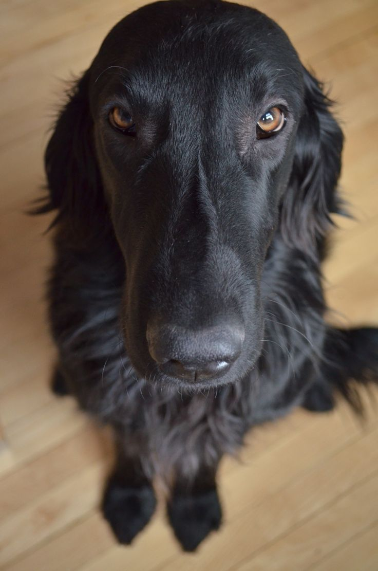 My Flat Coated Retriever, Gus