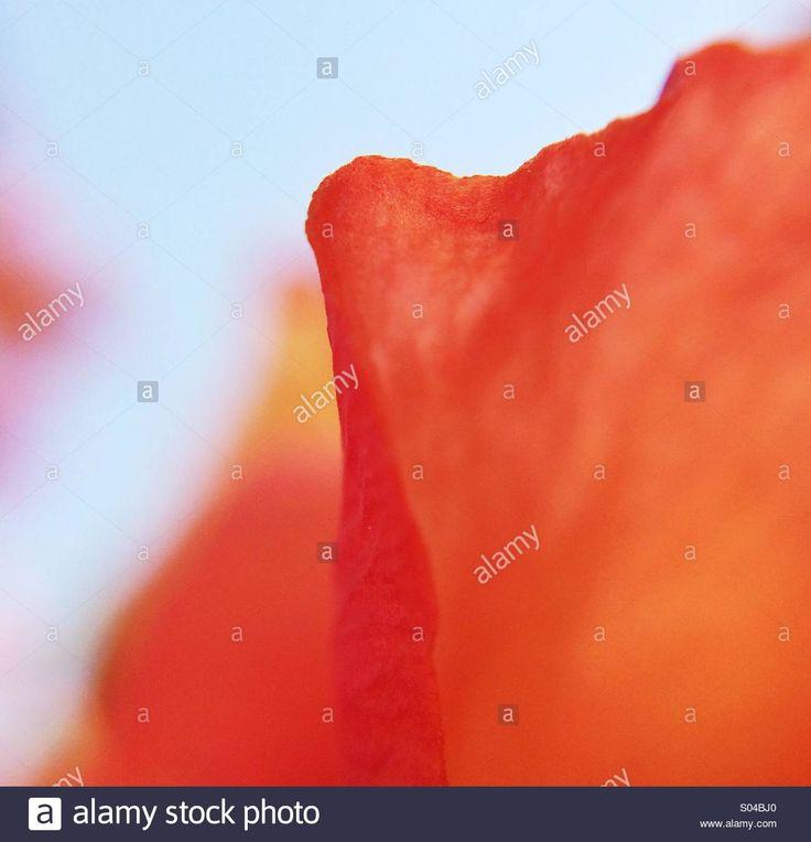 Macro Of An Orange Petal Stock Photo, Royalty Free Image: 309883560 - Alamy
