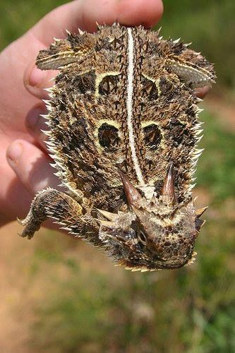 "Texas Horned Lizard or ""horny toad"" - loved catching them as a kid. They would puff up and squirt a stream of blood from the corners of the eyes and sometimes from their mouth when frightened.  Today, they are an endangered species and illegal to possess."
