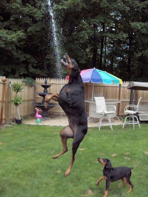 """Look at my mom"" #Doberman #dog"