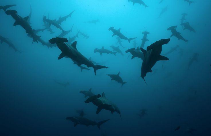 Стая молотоголовых акул возле острова Кокос, Коста-Рика