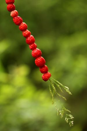 Smultron på strå (Wild Strawberries on a straw) #sweden #wildstrawberries