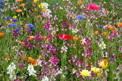 This mixture provides a season-long smorgasbord of flowers for hummingbirds. If hummingbirds naturally occur in your area, this annual and perennial mixture will attract them to your garden. 100 seeds.  Included in this mix: Rocket Larkspur Lupine, Perennial Lupine, Arroyo Gayfeather Four OClock Formula Mix Rocky Mountain Penstemon Scarlet Sage Gilia Fairy Bouquet Snapdragon, Dwarf Spurred Red Phlox, Annual Sweet William Pinks Lemon Mint Wild Petunia Giant McKana Columbine Mix Tussock…