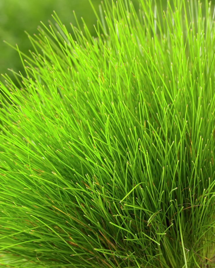 612 best images about ornamental grasses and landscape for Common ornamental grasses