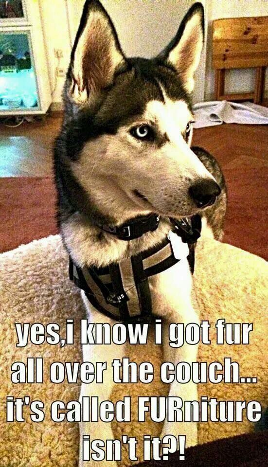 """""""FUR""""niture... that's what you get with huskies."""