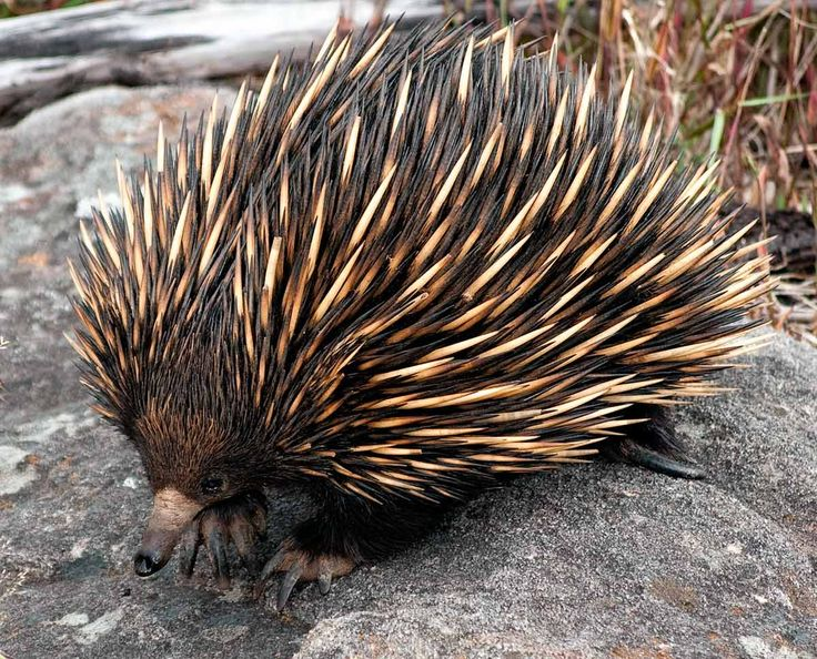 characteristics of echidnas spiny anteaters Echidnas, sometimes known as spiny anteaters, belong to the family  the  creature feature: 10 fun facts about the echidna | tachyglossus aculeatus  photo:.