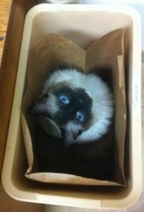 Caymus in Recycle Bin 300x204 Ragdoll Cat Price