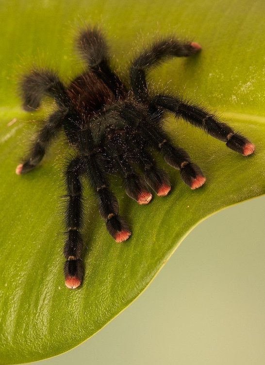 More Pink-Toe. I decided when I get a spider, I'm naming it Bitsy as in the Itsy Bitsy Spider.