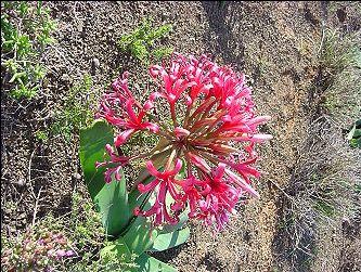 East Cape South Africa Ammocharis coranica Amaryllidaceae