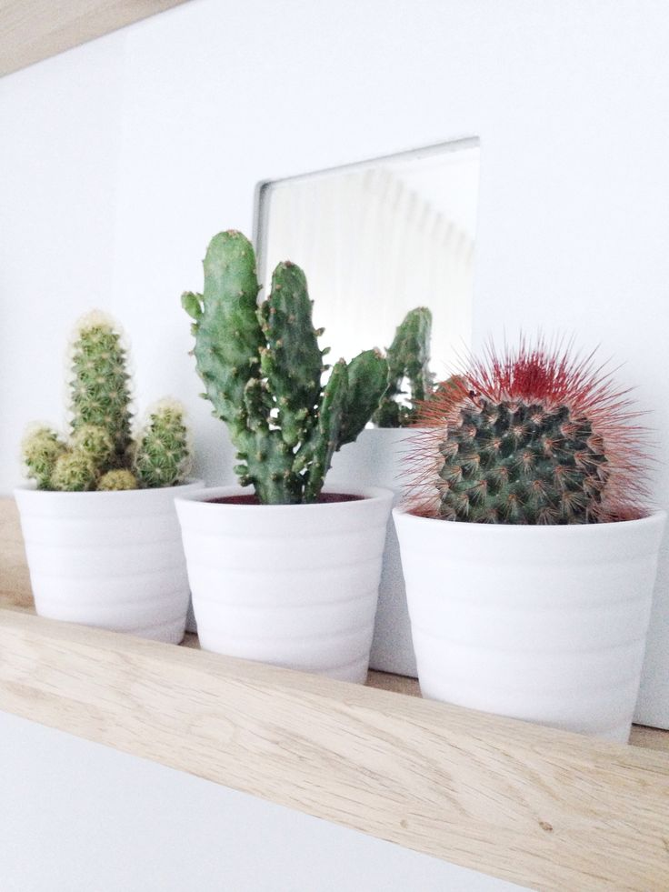 by totally mirz mini cactus from ikea our home pinterest mini cactus cactus and minis. Black Bedroom Furniture Sets. Home Design Ideas