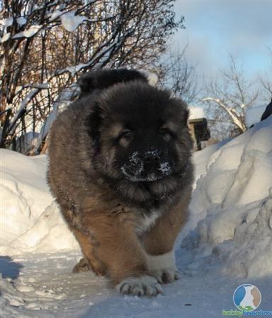 Caucasian Mountain Dog Angry