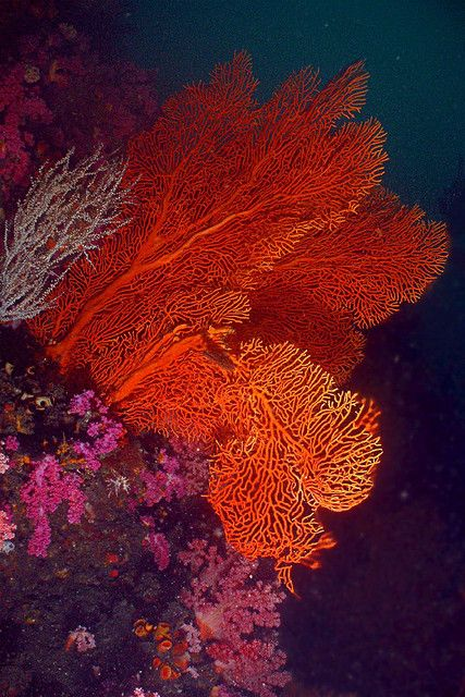 We saw huge sea fans of every color while diving in Fiji, beautiful.