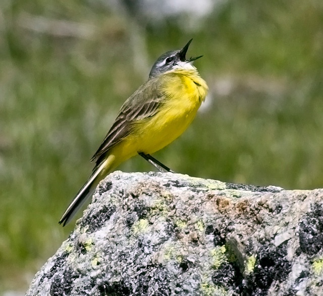 Sierra De Gredos Yellow Wagtail by crookrw, via Flickr