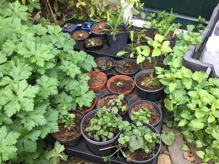 Opgepotte planten van zaailingen in bloempotten en tussen de straatstenen, voor de erasmustuin