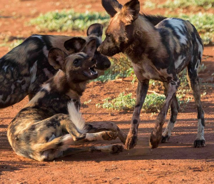 African wild dogs
