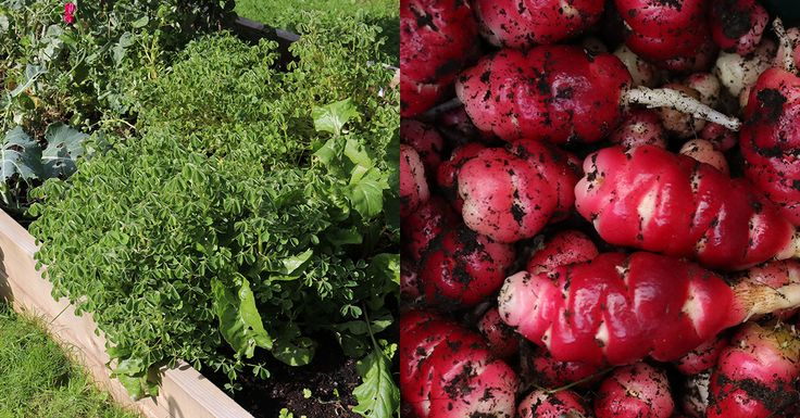 How to grow oca a south american root vegetable ne w