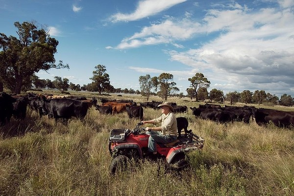 Tony Duff rounds up his cattle for the evening on the Newell Highway between Forbes and West Wyalong following the floods.