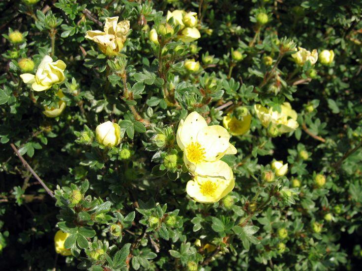 Potentille arbustive, Potentilla fruticosa