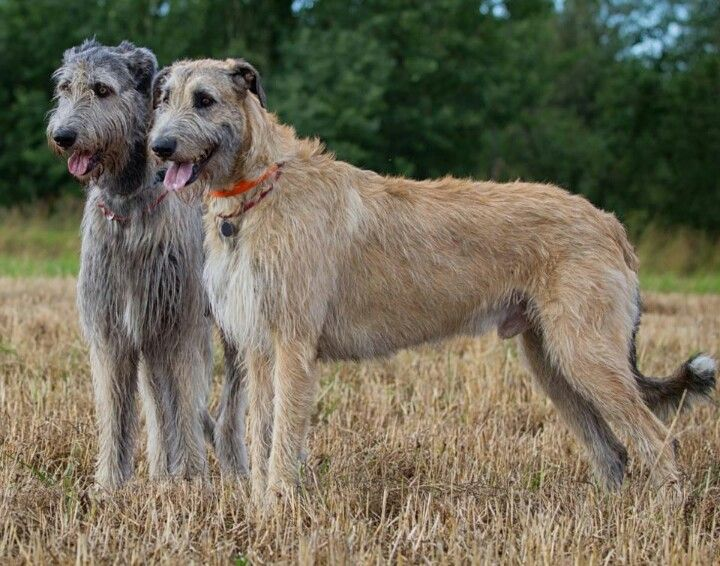 Irish wolfhound....I have pictures of my great grandparents  homesteading with this breed. Great dogs!