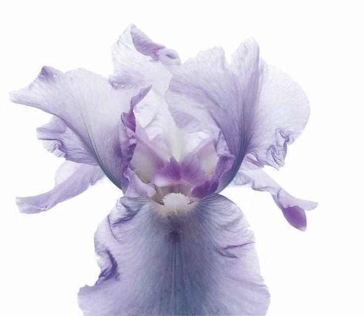 #iris #viola