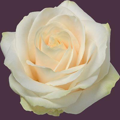 Four Seasons Roses - Meijer Roses
