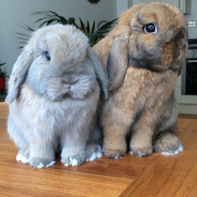 """Biscuit, your face is dirty!"" ""No way Alfs 😱!?"" #bunny #bunnies #bunnylove #bunniesofinstagram #bunniesworldwide #rabbit #rabbits #rabbitsofinstagram #rabbitsworldwide #pet #pets #petstagram #petsworldwide #petsofinstagram #instagood #instabunny #instarabbit #instaanimal #fabbunnies #animal #animals #animalsworldwide #animalsofinstagram #london #minilop #monday #rabbitsofig"