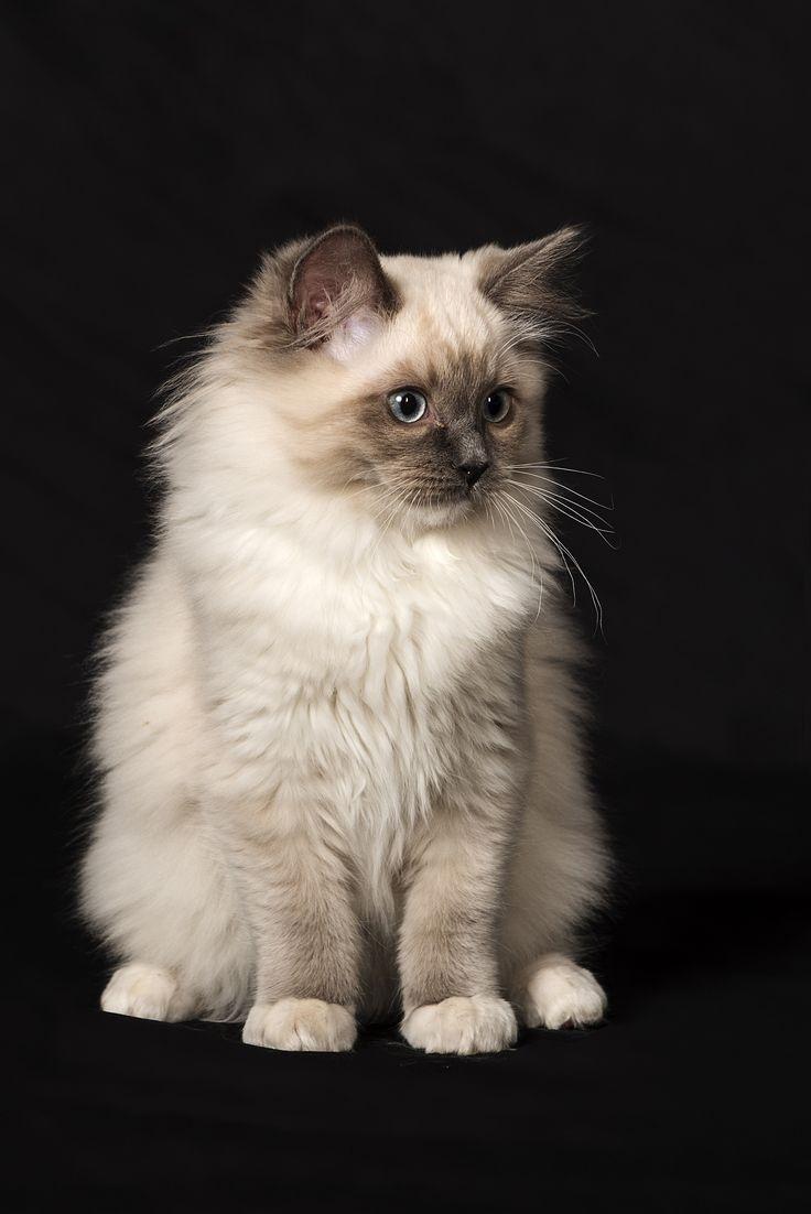 Persian Cat Rescue Miami