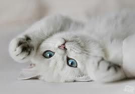 All white kitten with blue eyes.