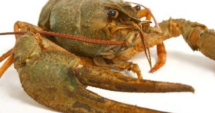 Cómo limpiar un cangrejo de río. No hay nada mejor que una tarde con amigos y familiares comiendo un balde de cangrejos de río mientras beben unas cervezas heladas. Pero antes de poder pasarla bien, alguien debe limpiar los cangrejos. Aquí encontrarás cómo hacerlo.
