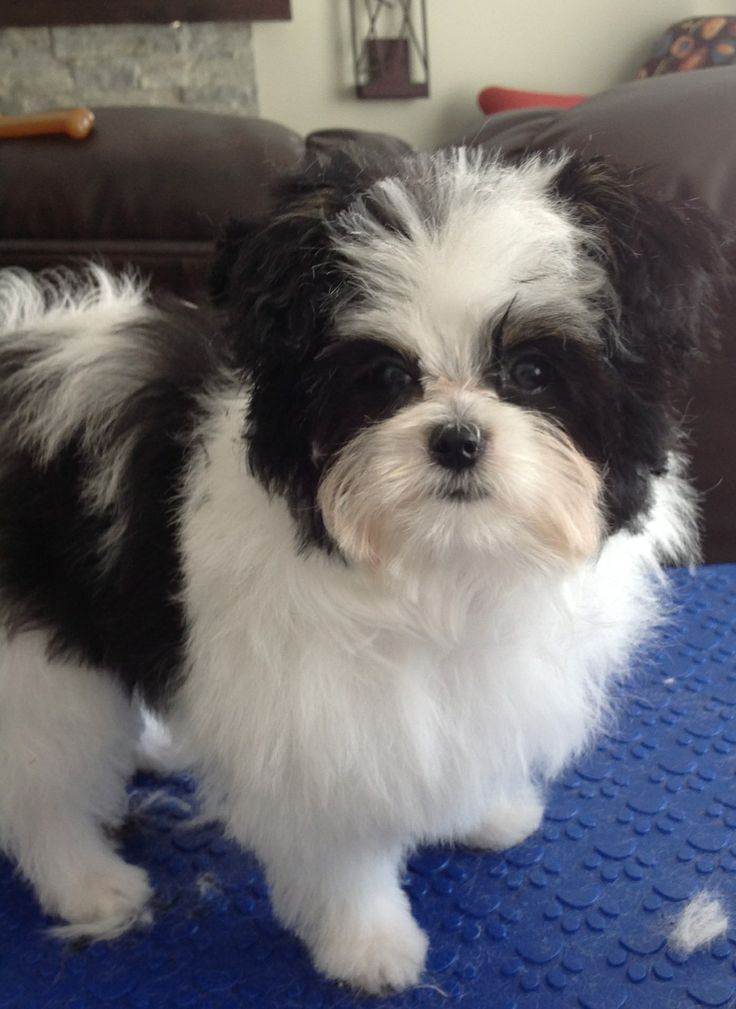 20 best images about Papillion-Maltese Mix puppies and ...