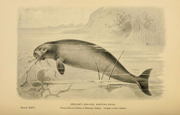 Steller's sea cow was hunted to extinction fewer than thirty years after being described.