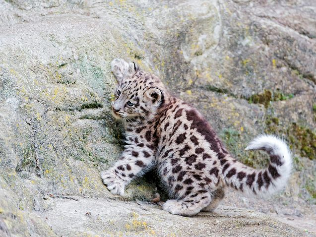 My favourite big cat, a Snow Leopard!