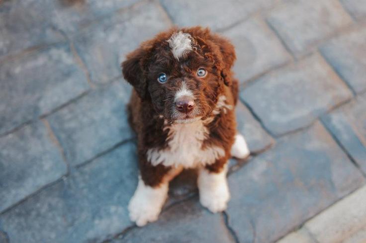 Brunito 3 months #Spanish Waterdog #Perro de Agua