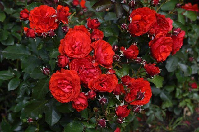 Kwiaty W Domu I Ogrodzie Roze Panny Rozy Free Photographs Flowers Rose