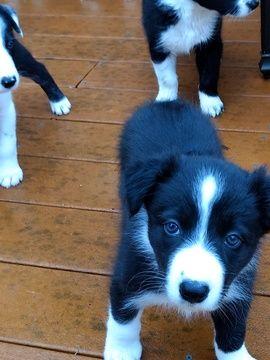 Border Collie puppy for sale in PLATTSBURG, MO. ADN-48712 on PuppyFinder.com Gender: Male. Age: 8 Weeks Old