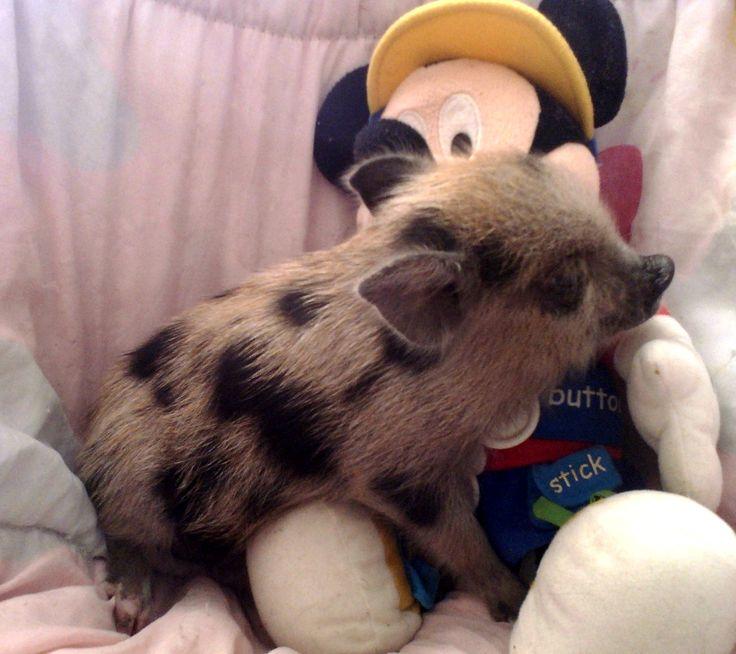 mini pigs | Mini Pigs for Sale | Miniature Pigs for Sale - Get Piglets!!