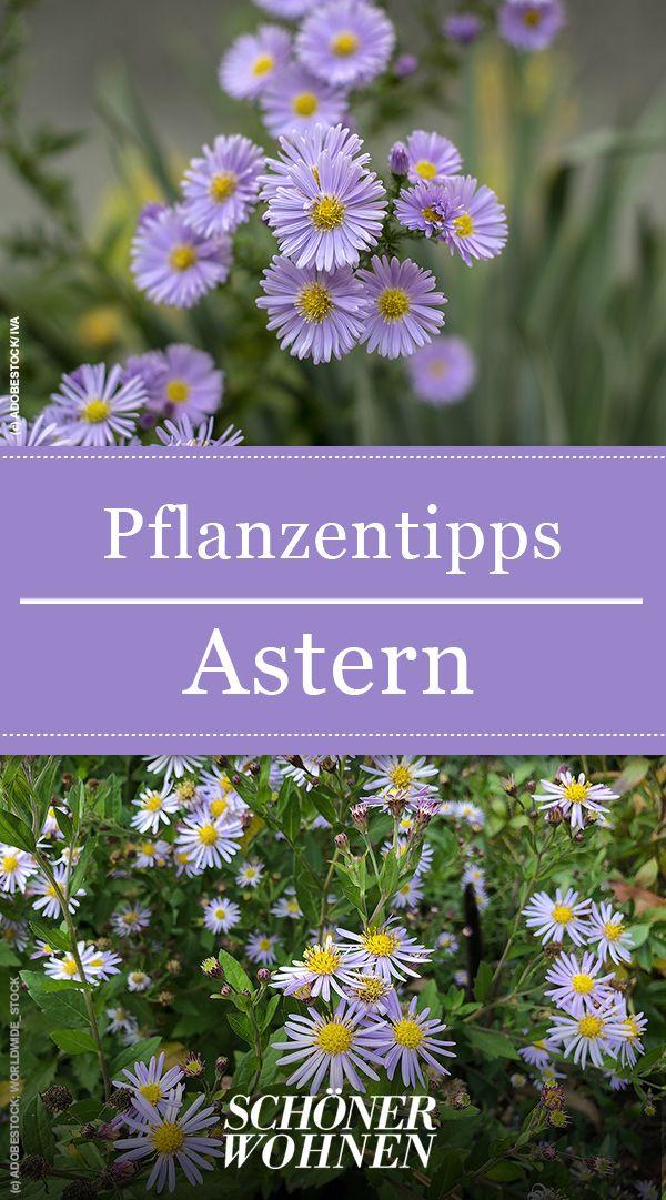 Astern Schneiden Uberwintern Vermehren Pflanzen Garten Blumen Pflanzen