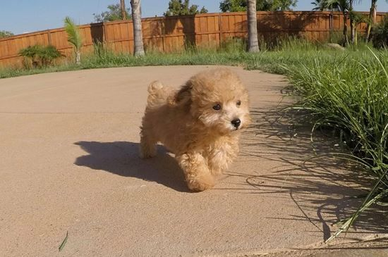 SUPER Tiny Male CavaPoo Puppy !! 14 week old Cava Poo