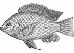 Recirculating Tilapia Fish Farm Business Plan That Works