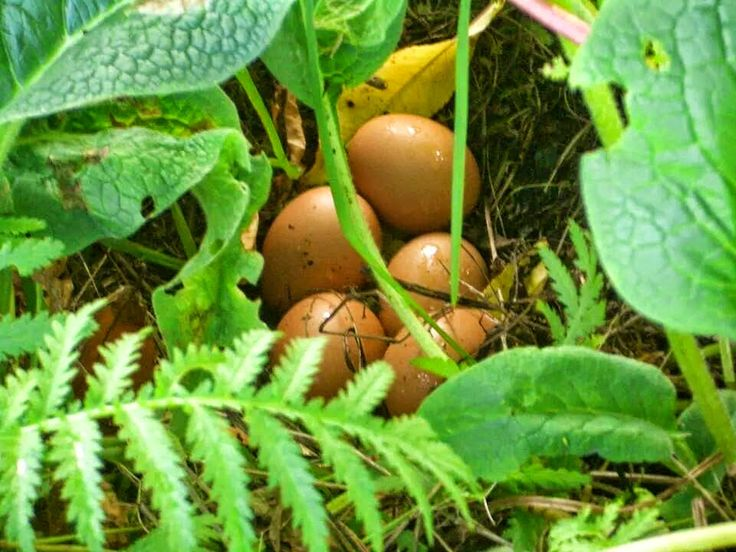 Köy Yumurtası - Köy Tavuğu - Organik Yumurta: Organik yumurta satisi tüm hizla devam ediyor