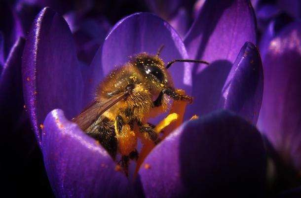 Un'#ape raccoglie il polline da un fiore di #croco il 15 marzo 2015 a #Kaufbeuren, #Germania meridionale