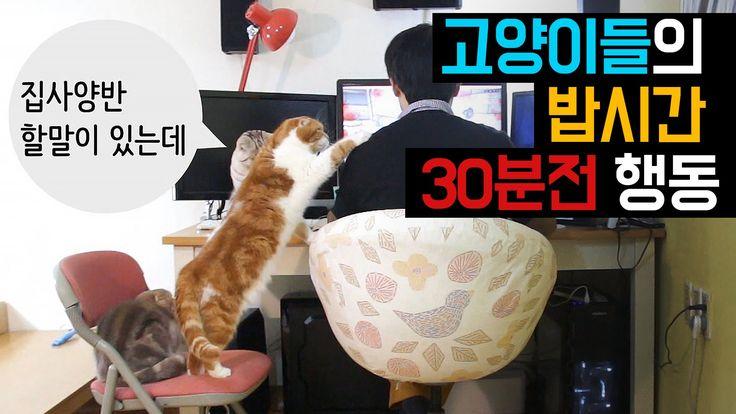 고양이들의 밥시간 30분전 행동들 Hungry Cat Begging For Food  猫たちの食事時間30分前行動[SURI&NOEL]