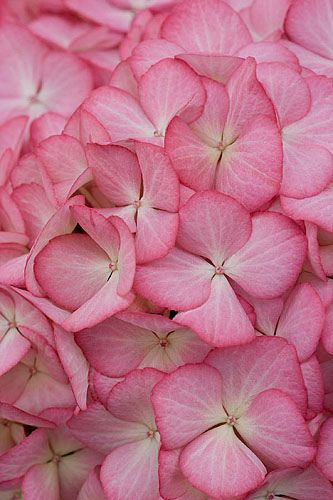 https://flic.kr/p/7zrcnQ | 41676 | Beautiful pink flowers of hydrangea macrophylla 'eline'