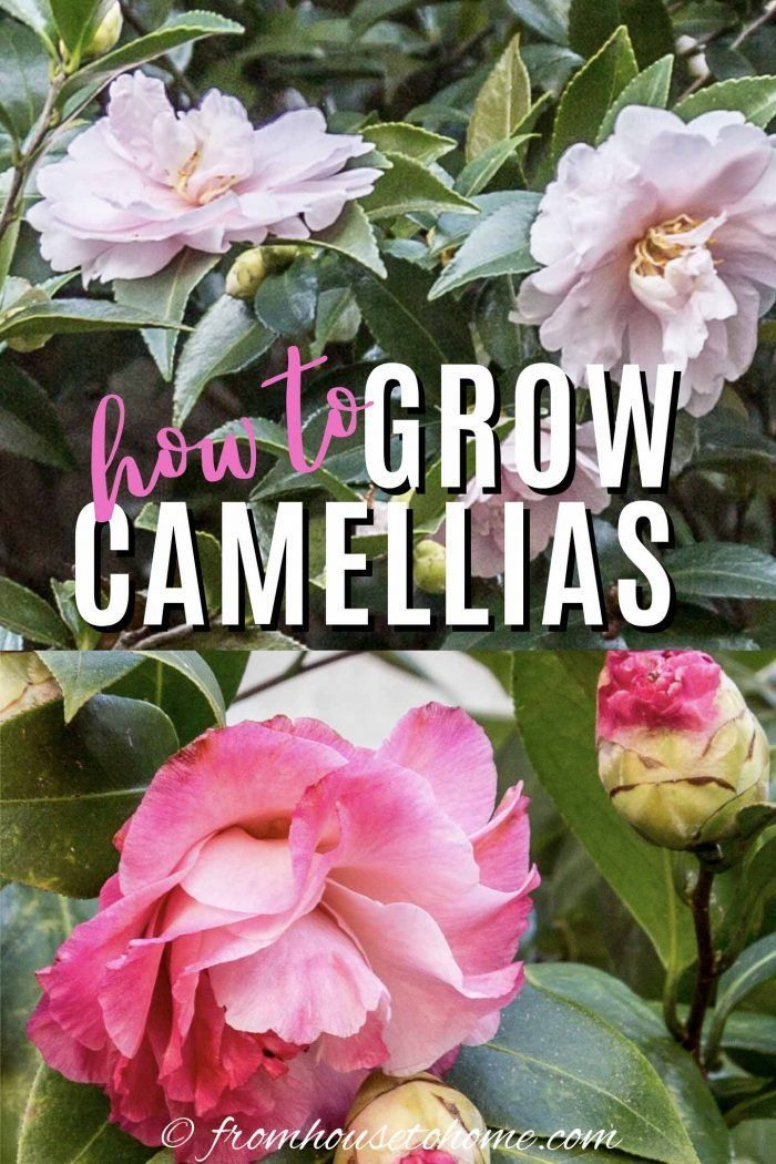 Camellia Care Guide How To Grow Gorgeous Camellias In Your Garden Gardening From House To Home In 2020 Grow Gorgeous Shade Loving Shrubs Drought Tolerant Garden