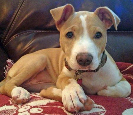 American Pit Bull Terrier / Jack Russell Terrier mix puppy. LOVE THEM THEY LOVE TO BE CUDDLED GET THE WORD OUT!!