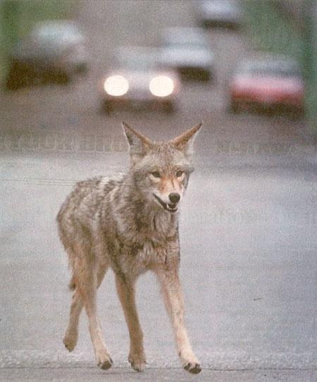 COYOTES  Hace algunos meses, iba de regreso a mi casa con mis dos hijos y me encontré de frente con un animal que a primera instancia no sabía que era; mi reacción fue dar la vuelta y regresar por donde venía; cuando me di cuenta, el animal me venía siguiendo de cerca, pegué tal grito que creo que lo asusté y afortunadamente se fue. Me hubiera gustado identificar desde un principio qué era y qué hacer en caso de un encuentro con un coyote.