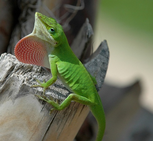 Best 25+ Chameleon Lizard Ideas On Pinterest